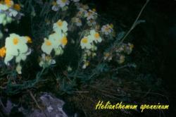 Helianthemum apenninum