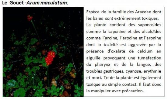arum-maculatum-1.jpg