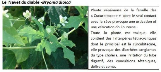 bryonia-dioica.jpg