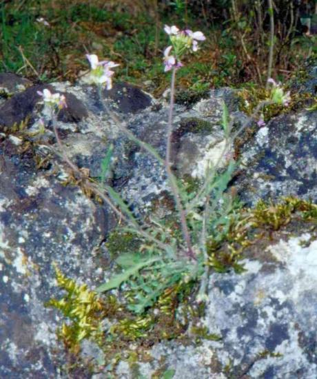 cardaminopsis-arenosa.jpg