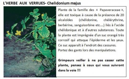chelidonium-majus-1.jpg