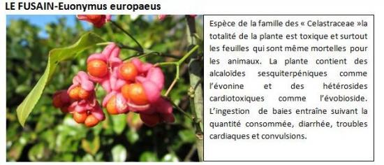 euonymus-europaeus-1.jpg