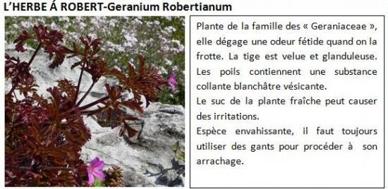 geranium-robertianum-1.jpg