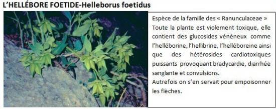 helleborus-foetidus-1.jpg