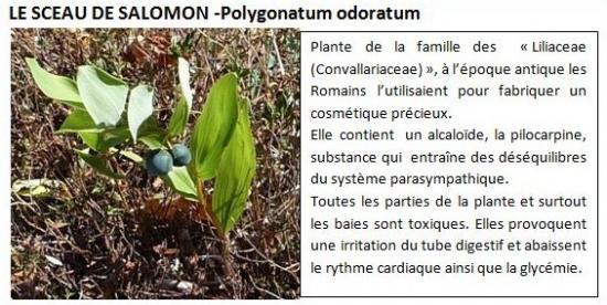 polygonatum-odoratum-1.jpg