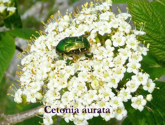 21 Cetonia-aurata---Copie.jpg