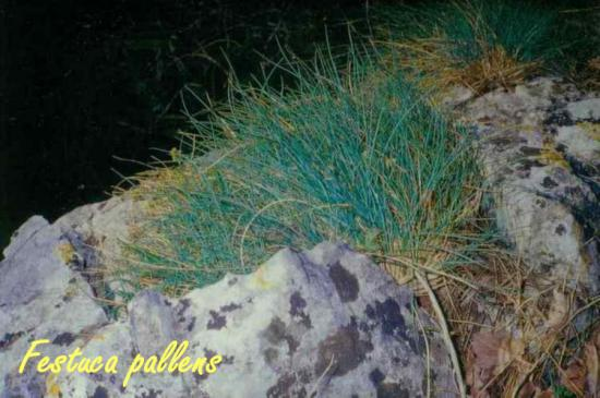 Festuca pallens