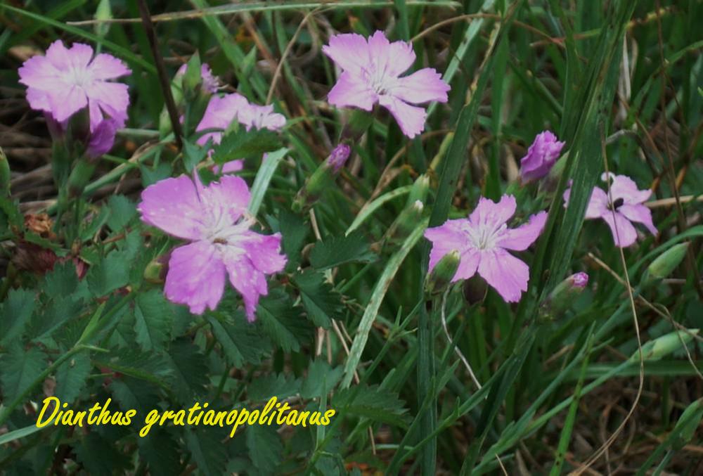 Dianthus-gratianopolitanus