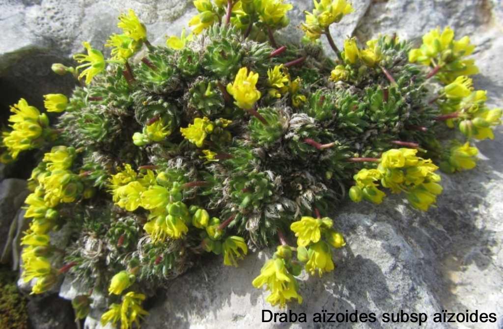 14 Draba aizoides subsp aizoides 1024x768 1