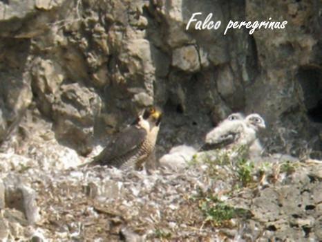 30-Falco peregrinus
