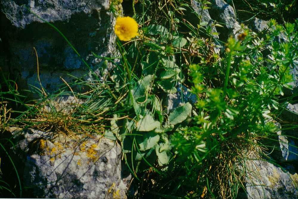 Hieracium mosanum 1