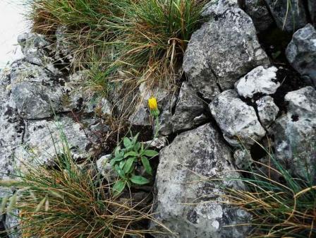 Hieracium mosanum 11