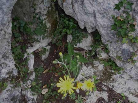 hieracium-murorum-1.jpg