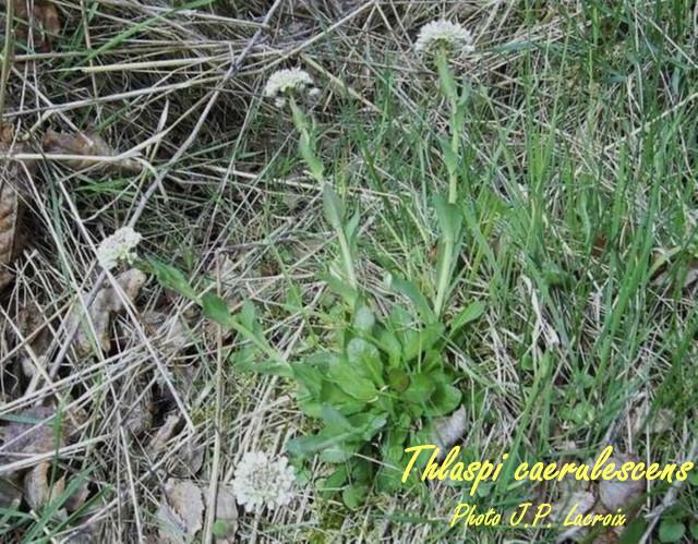 09 thlaspi-caerulescens.jpg